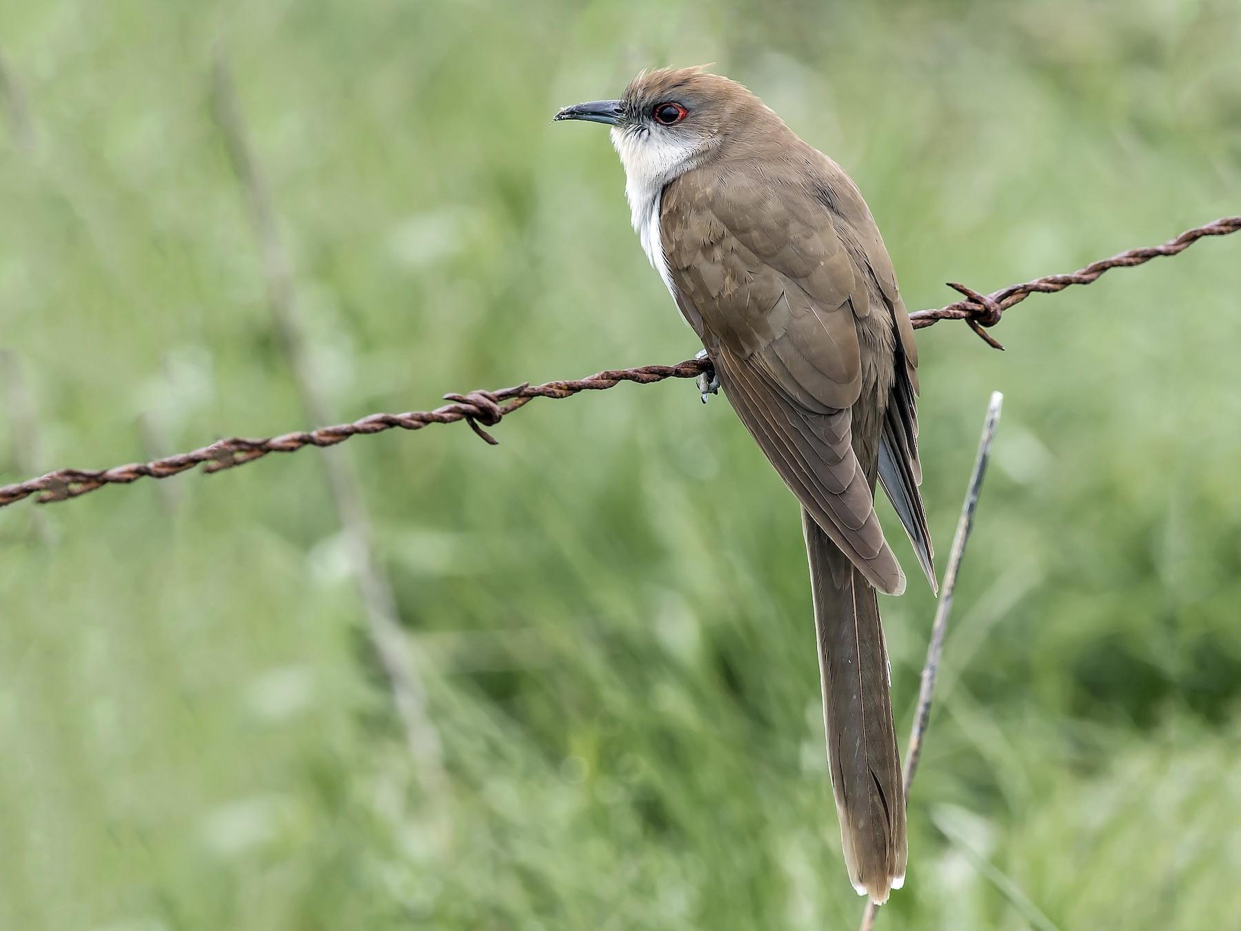 Black-billed Cuckoo - Ronnie d'Entremont