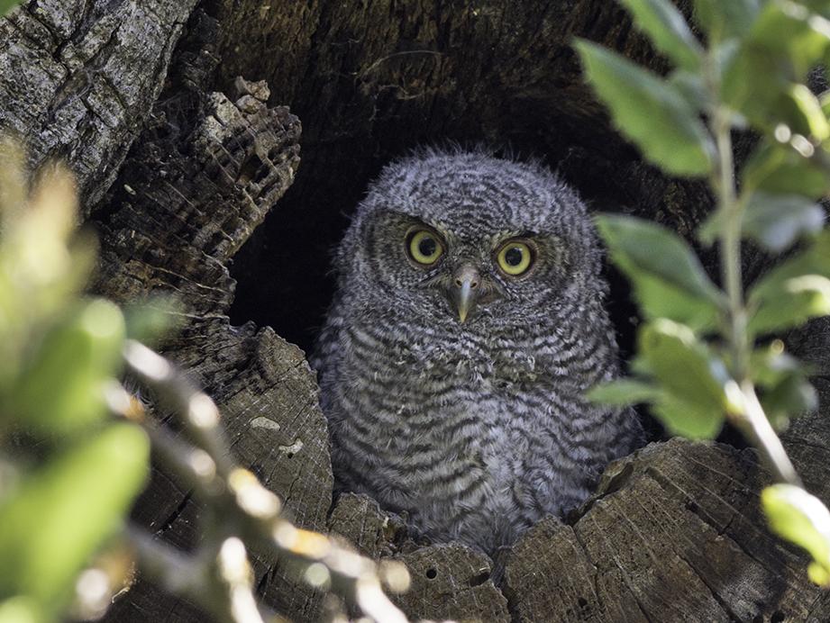 Western Screech-Owl - Brad Rangell