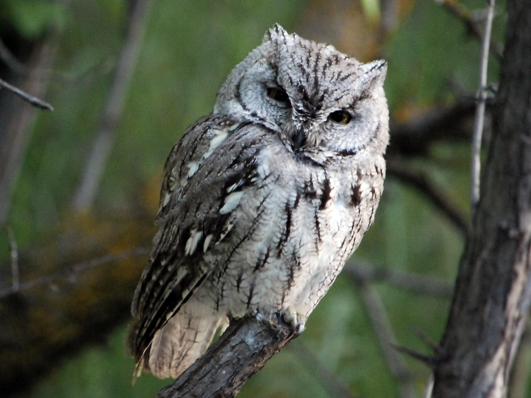 Western Screech-Owl - Noel Zaugg
