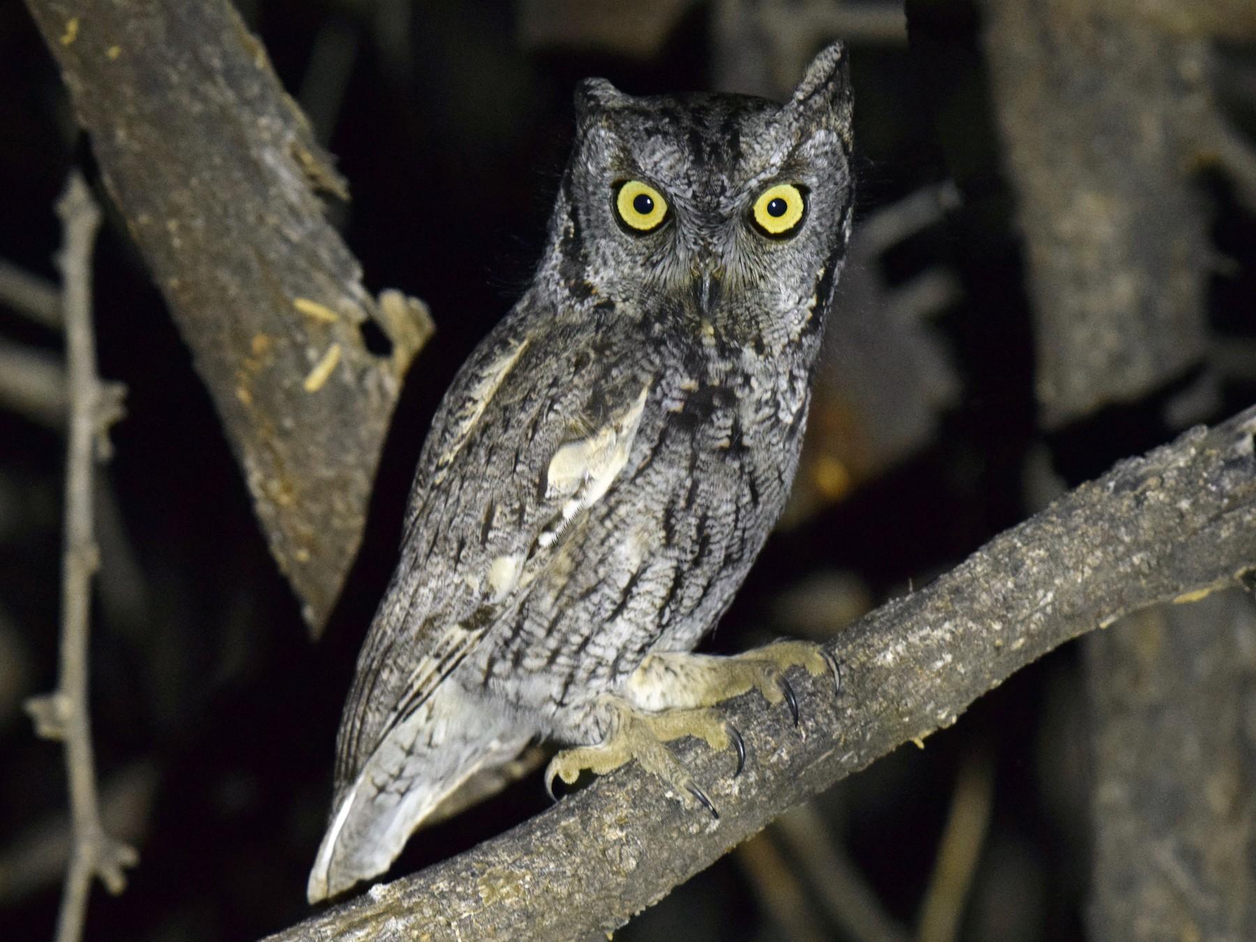 Western Screech-Owl - Ryan O'Donnell