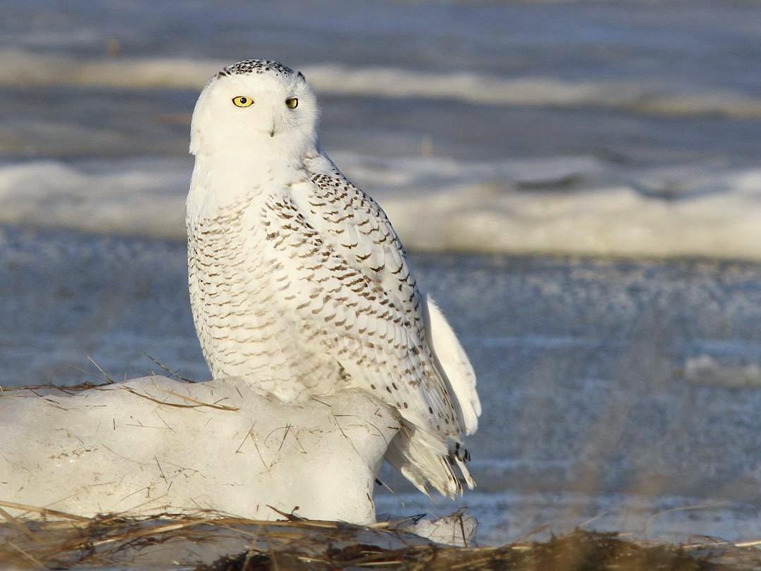 Snowy Owl - Doug Hitchcox