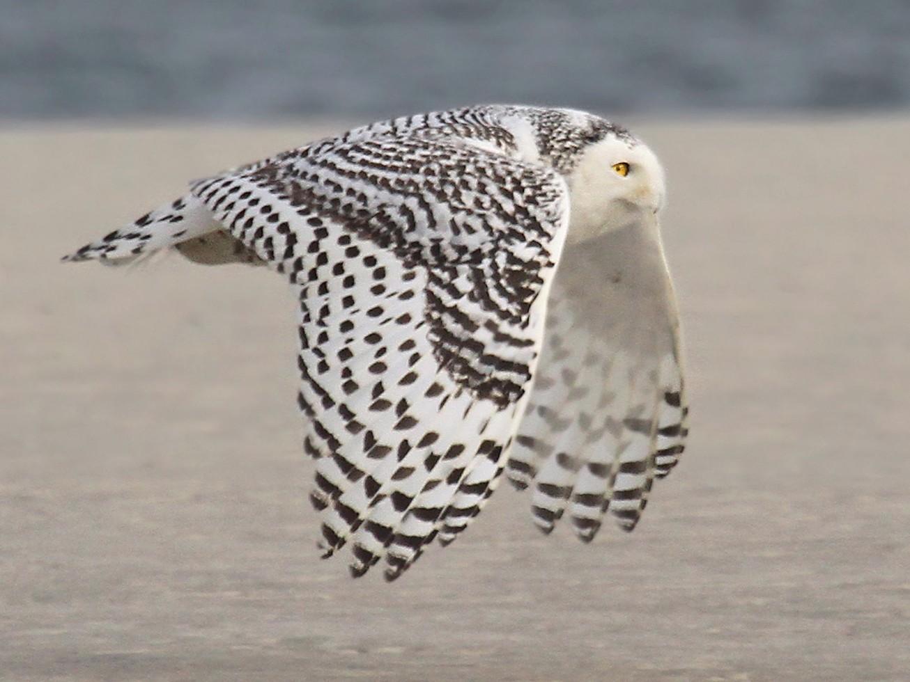 Snowy Owl - Ryan Schain