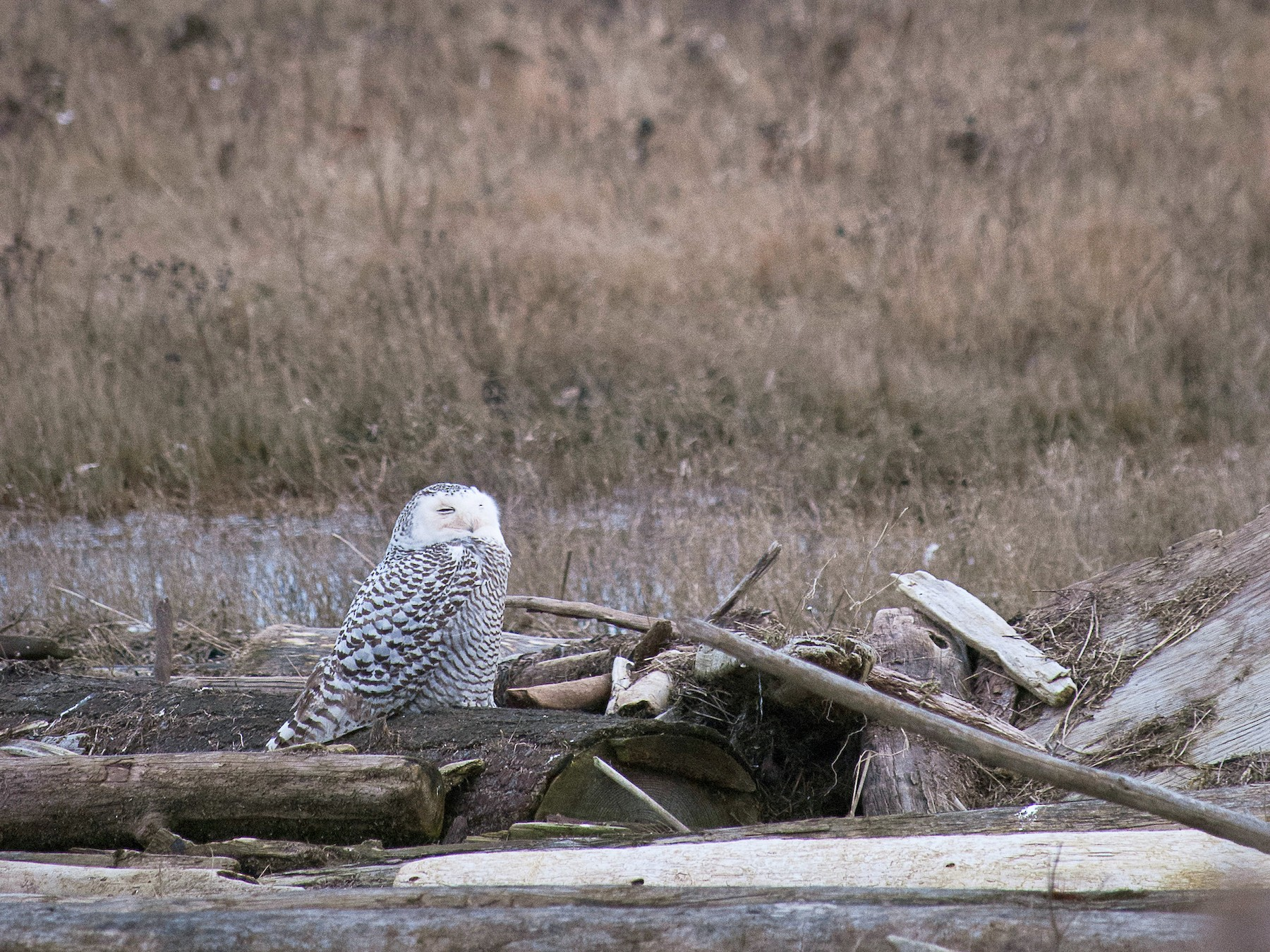 Snowy Owl - Graham Gerdeman