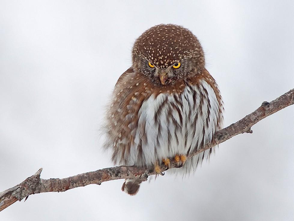 Northern Pygmy-Owl - Ryan Shaw