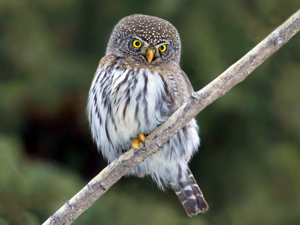 Northern Pygmy-Owl - Nick Saunders