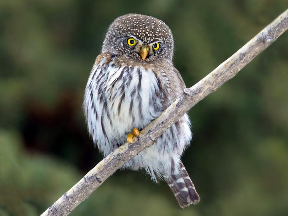 Northern Pygmy-Owl - Nick Saunders