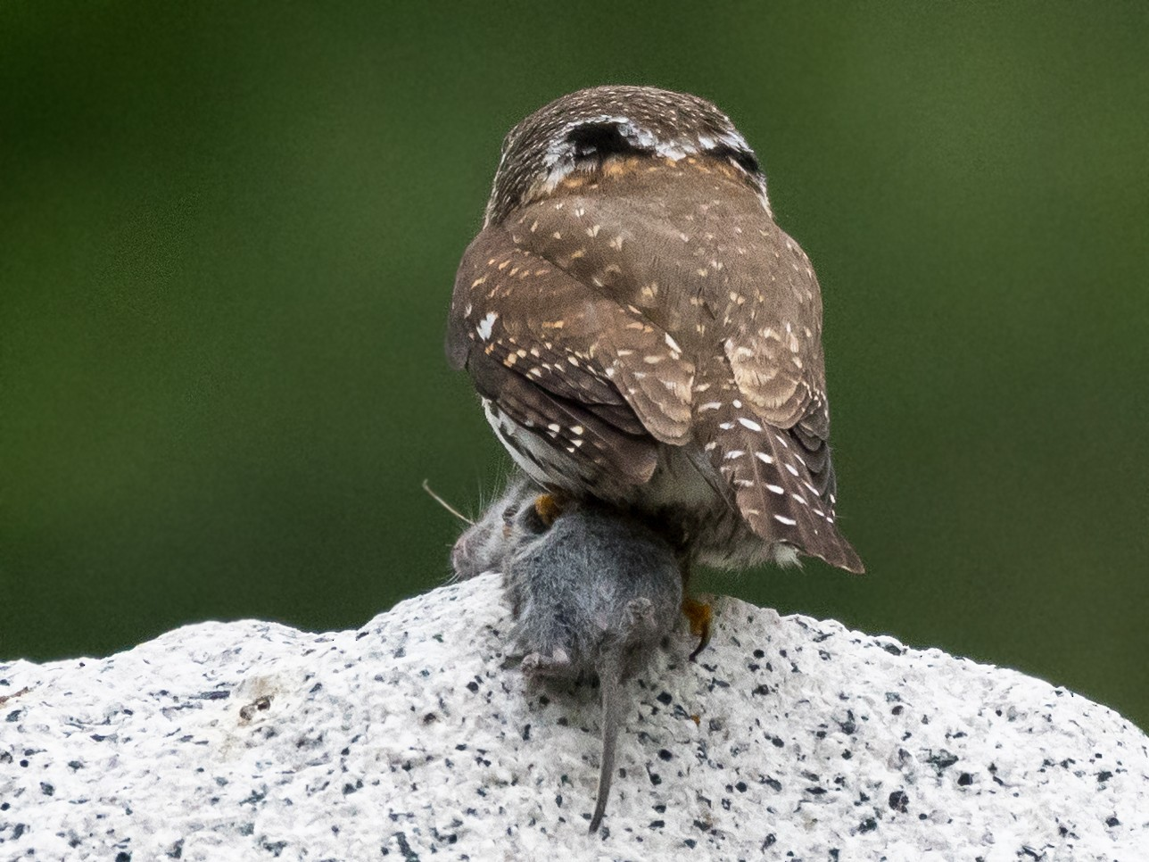 Northern Pygmy-Owl - Peter Olsoy