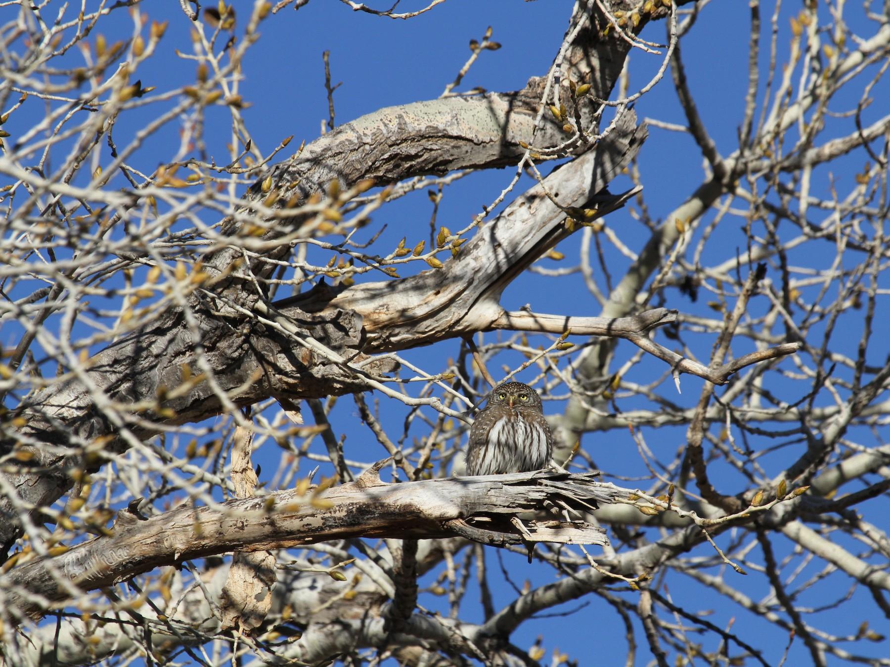 Northern Pygmy-Owl - Angel Poe