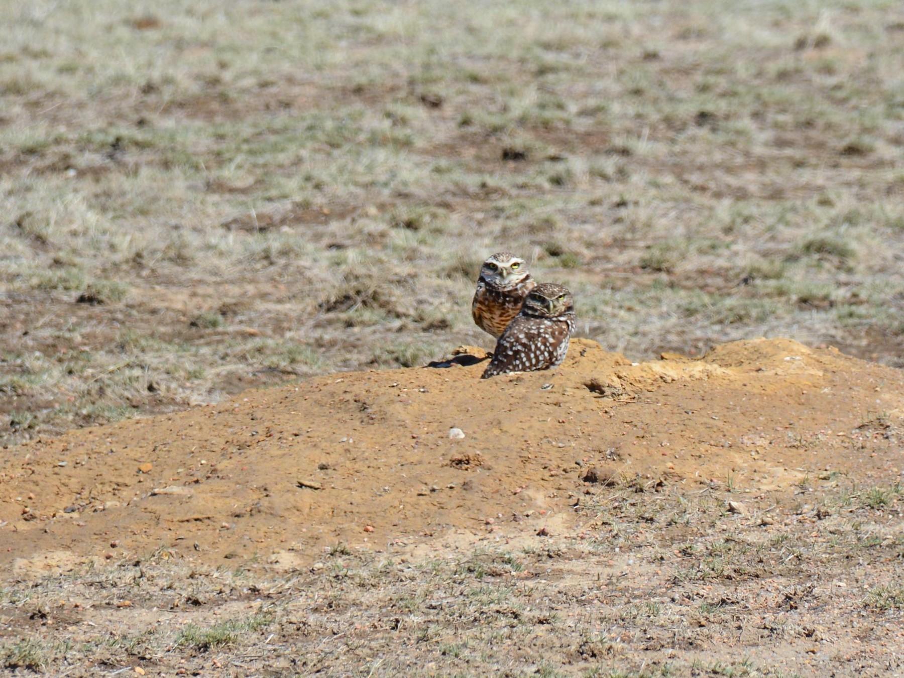 Burrowing Owl - Nancy Westfall