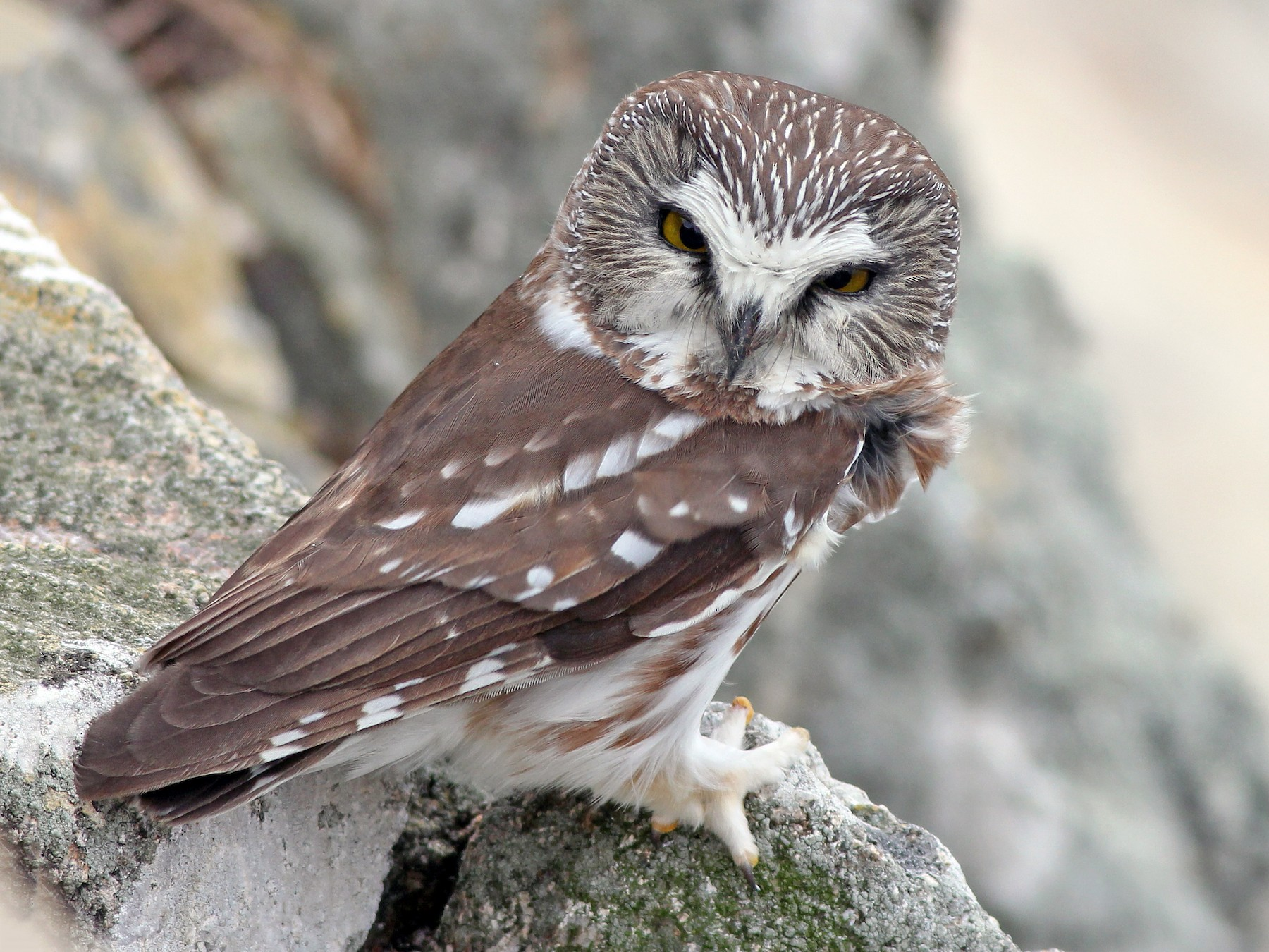 Northern Saw-whet Owl - Cameron Rutt
