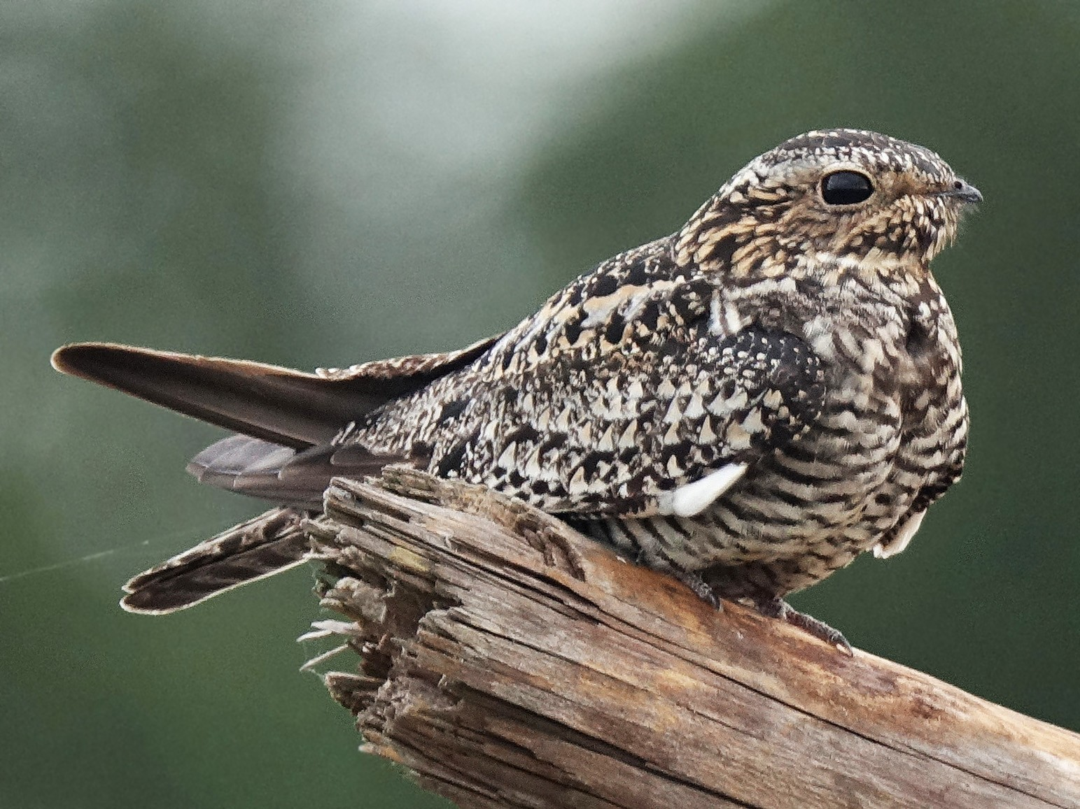 Common Nighthawk - Jane Mann