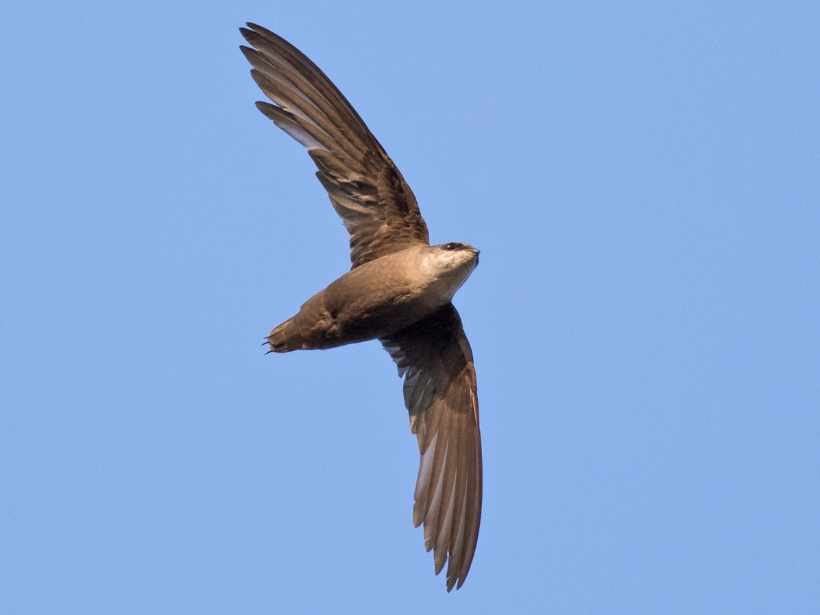 Chimney Swift - Tom Johnson