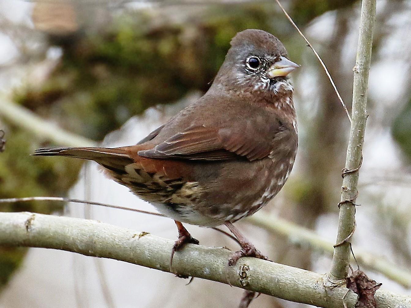 Fox Sparrow - Joshua Rudolph