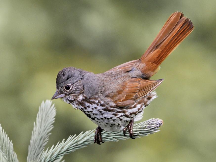 Fox Sparrow - Dave Beeke