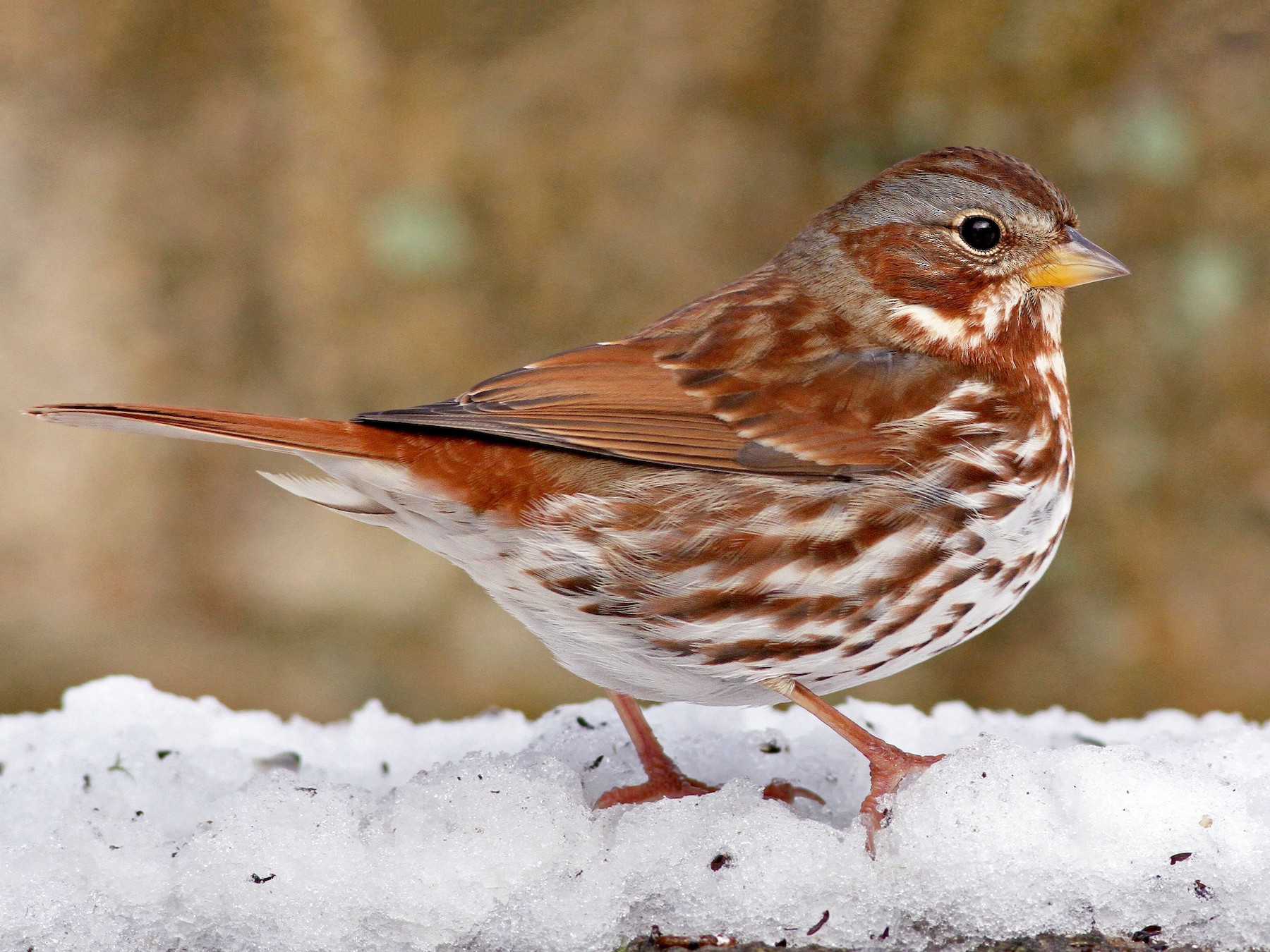 Fox Sparrow - Evan Lipton