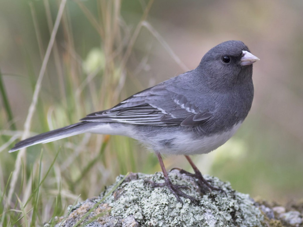 Dark-eyed Junco - Michael Todd
