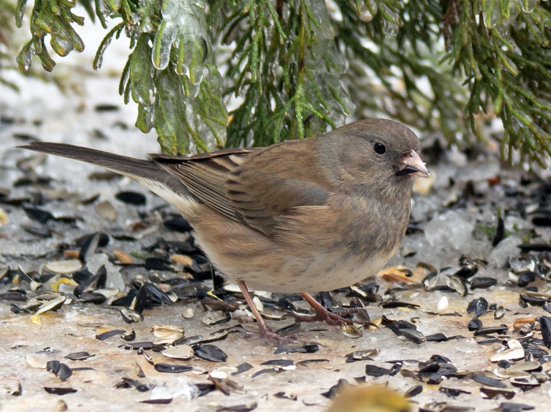 Dark-eyed Junco - Jack and Shirley Foreman