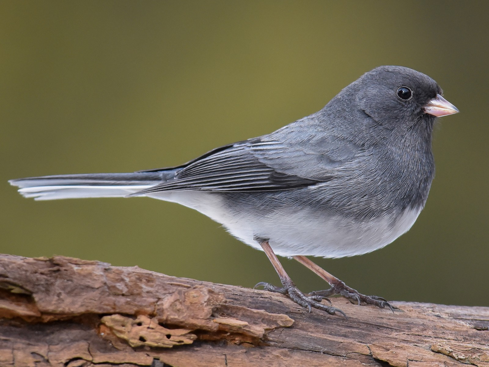 Dark-eyed Junco - Scott Martin
