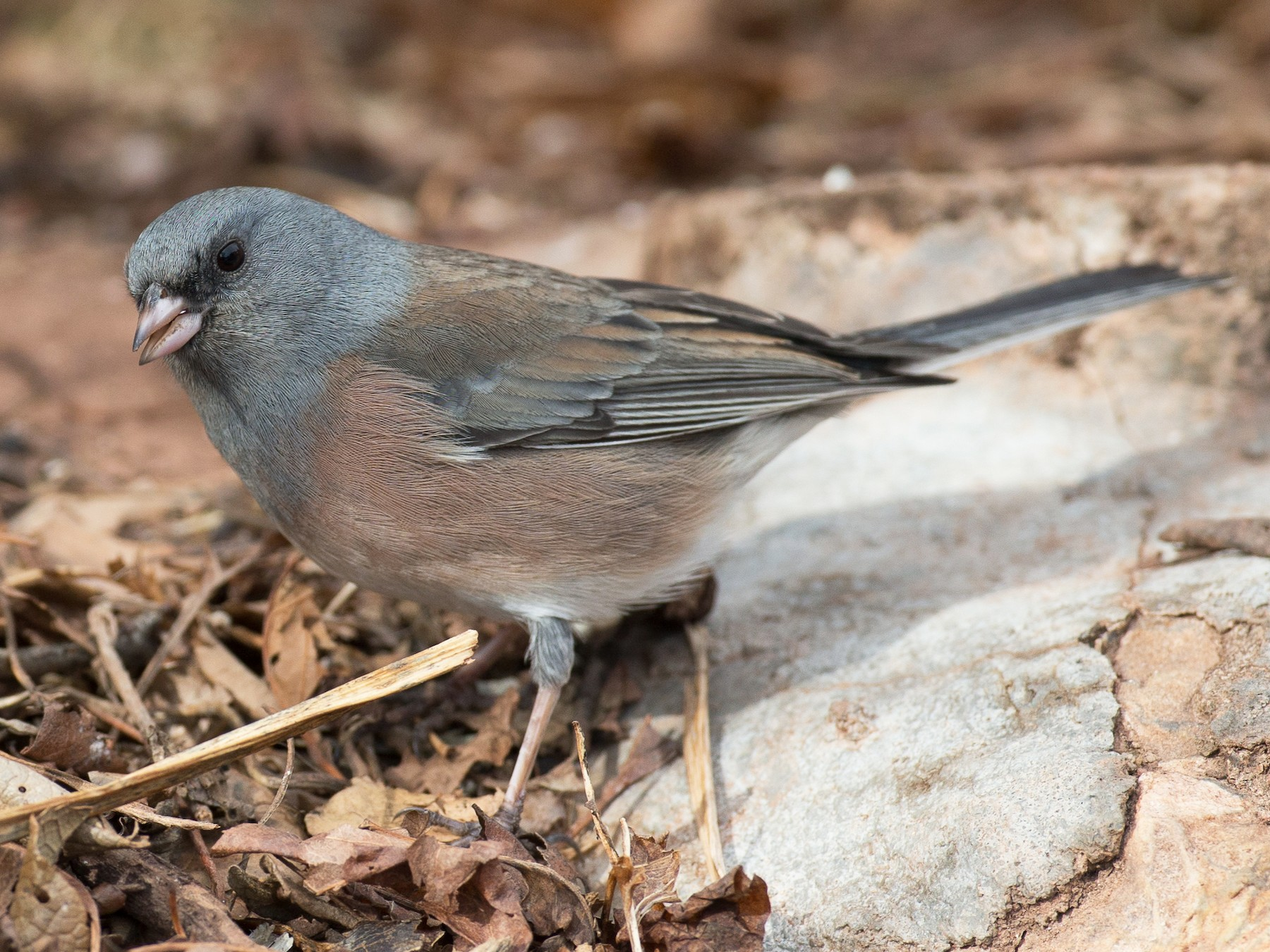 Dark-eyed Junco - Chris Wood