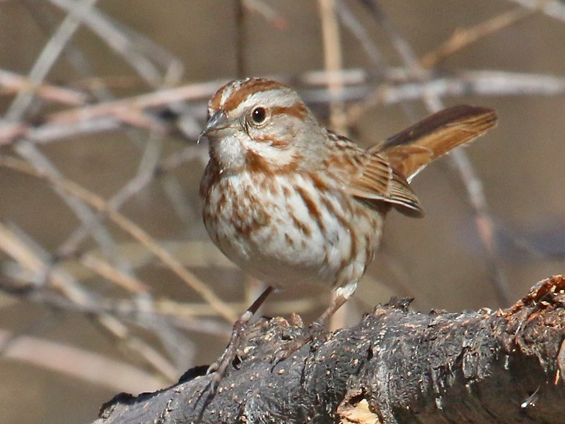 Song Sparrow - Richard Fray