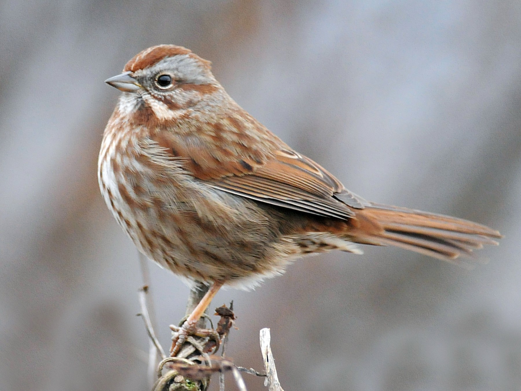 Song Sparrow - Steven Mlodinow