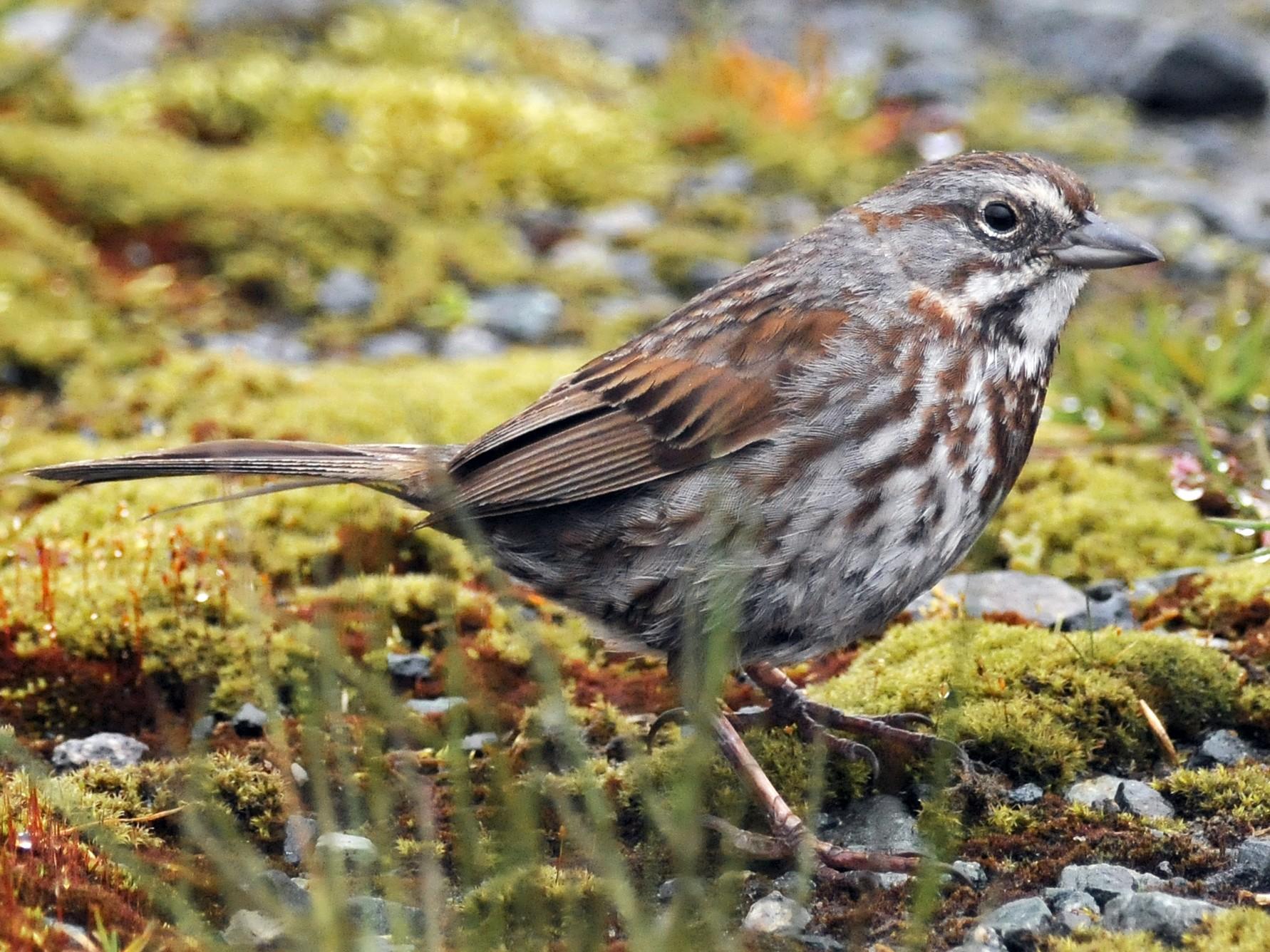 Song Sparrow - Steven Mlodinow