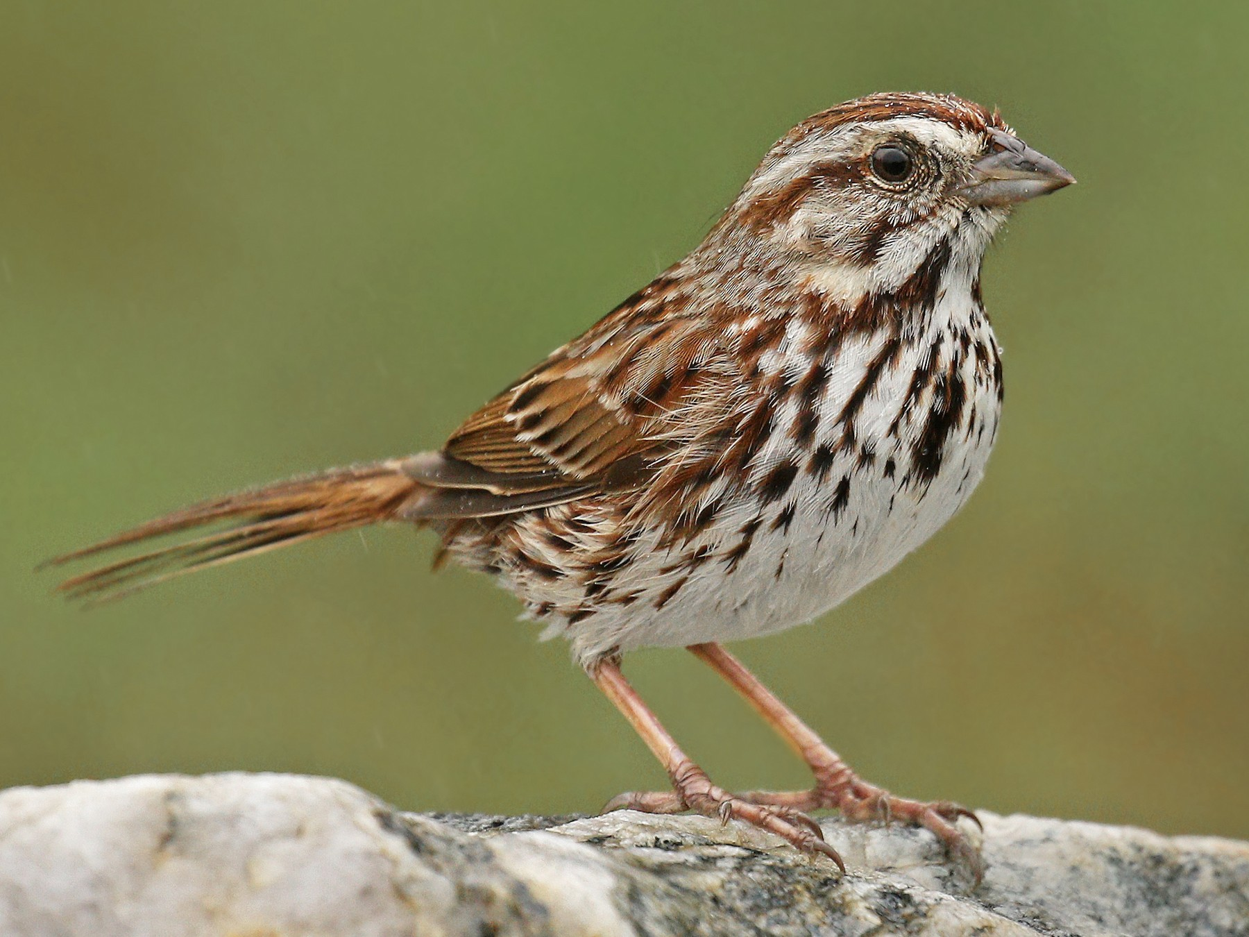 Song Sparrow - Ryan Schain