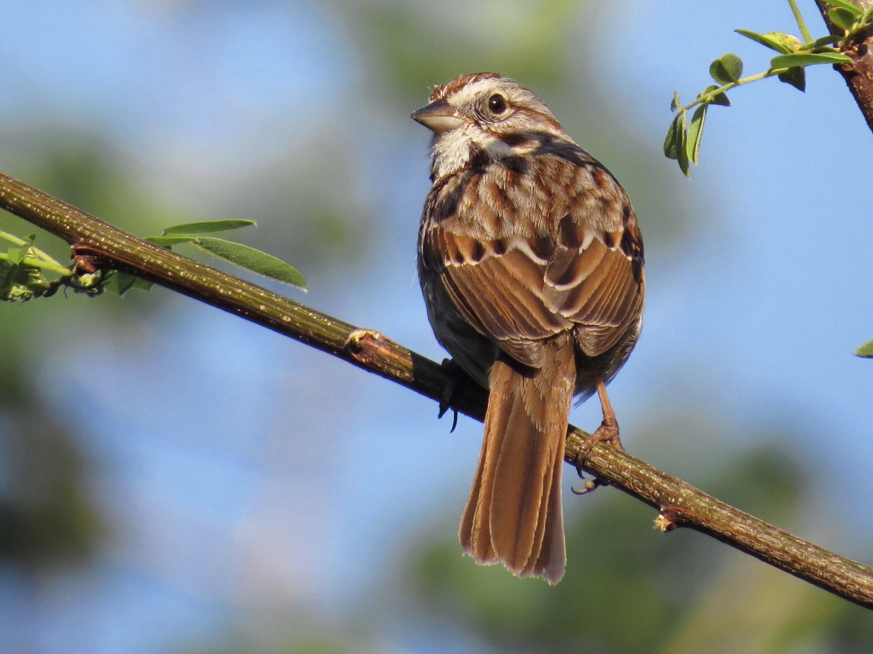 Song Sparrow - Ian Hearn