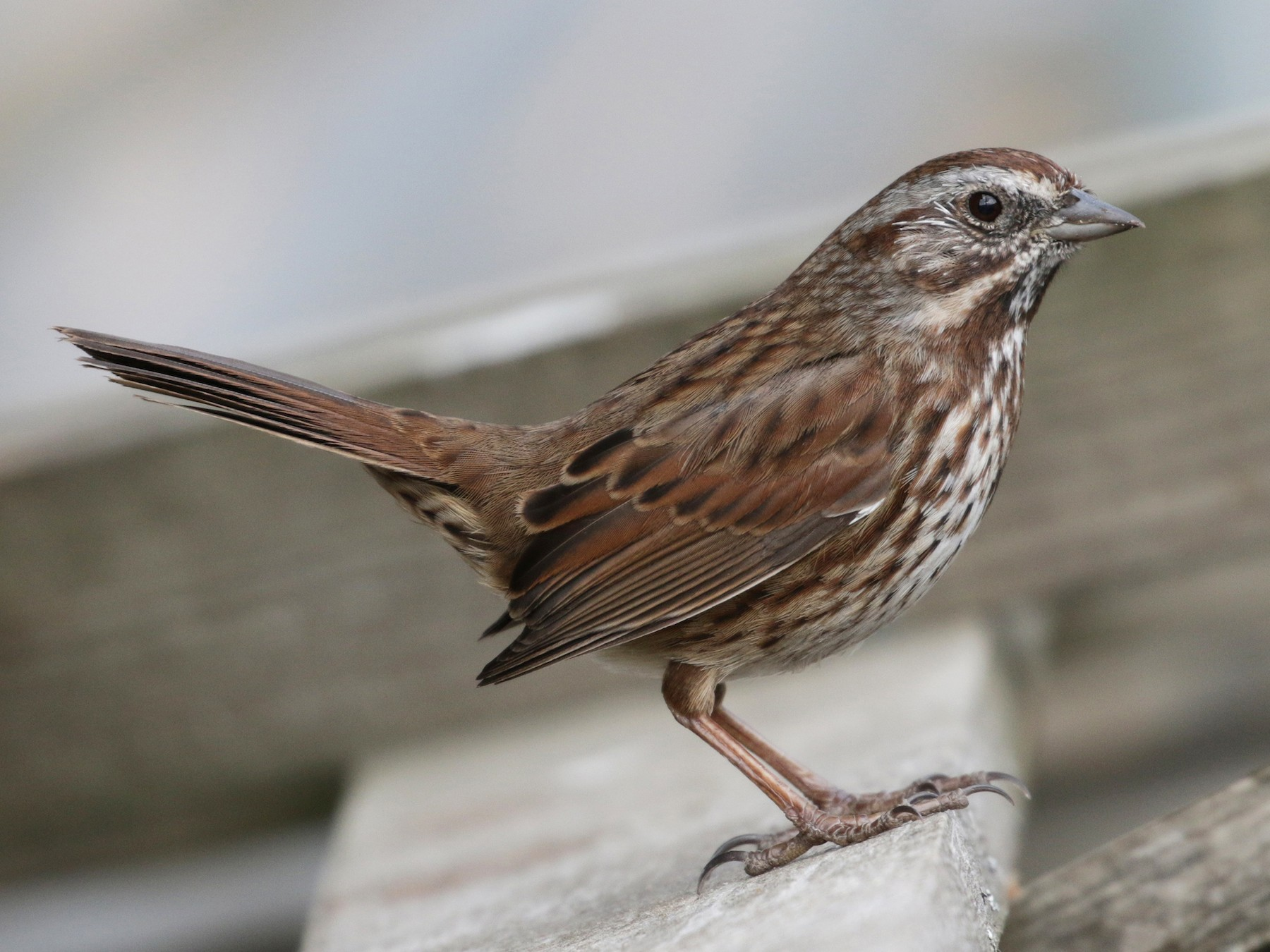Song Sparrow - Cameron Eckert