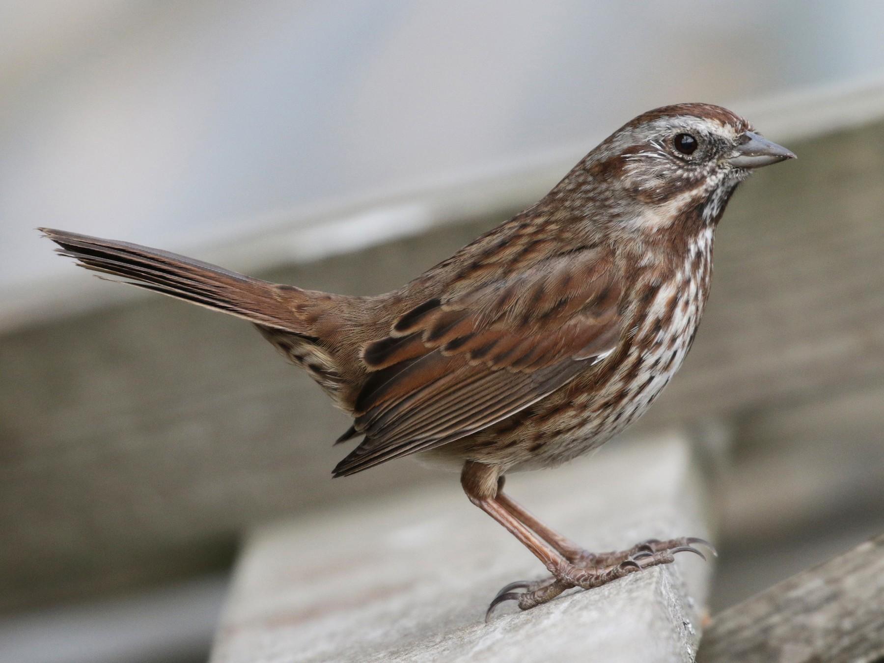 Song Sparrow - Cameron Eckert
