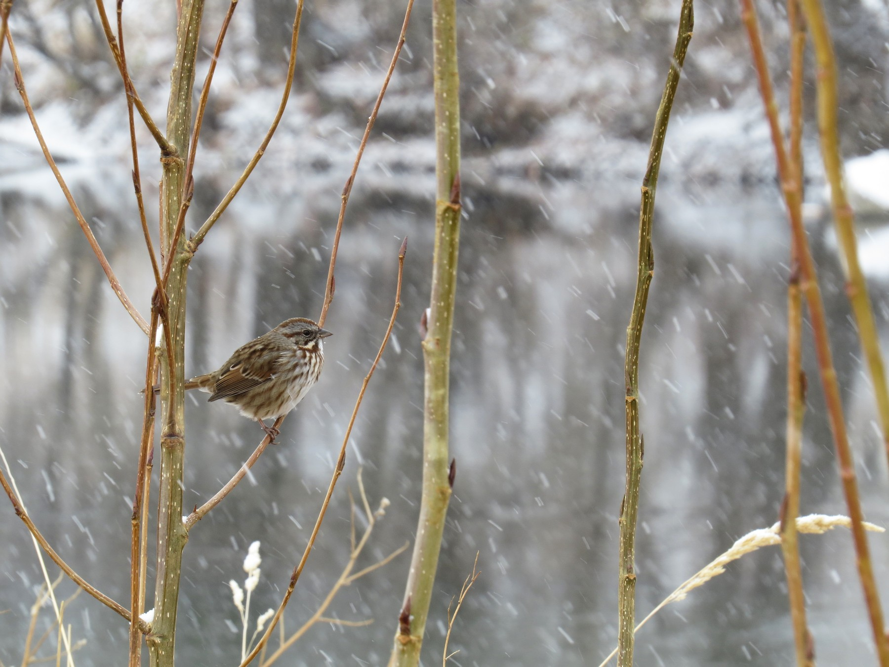 Song Sparrow - Ian Hearn