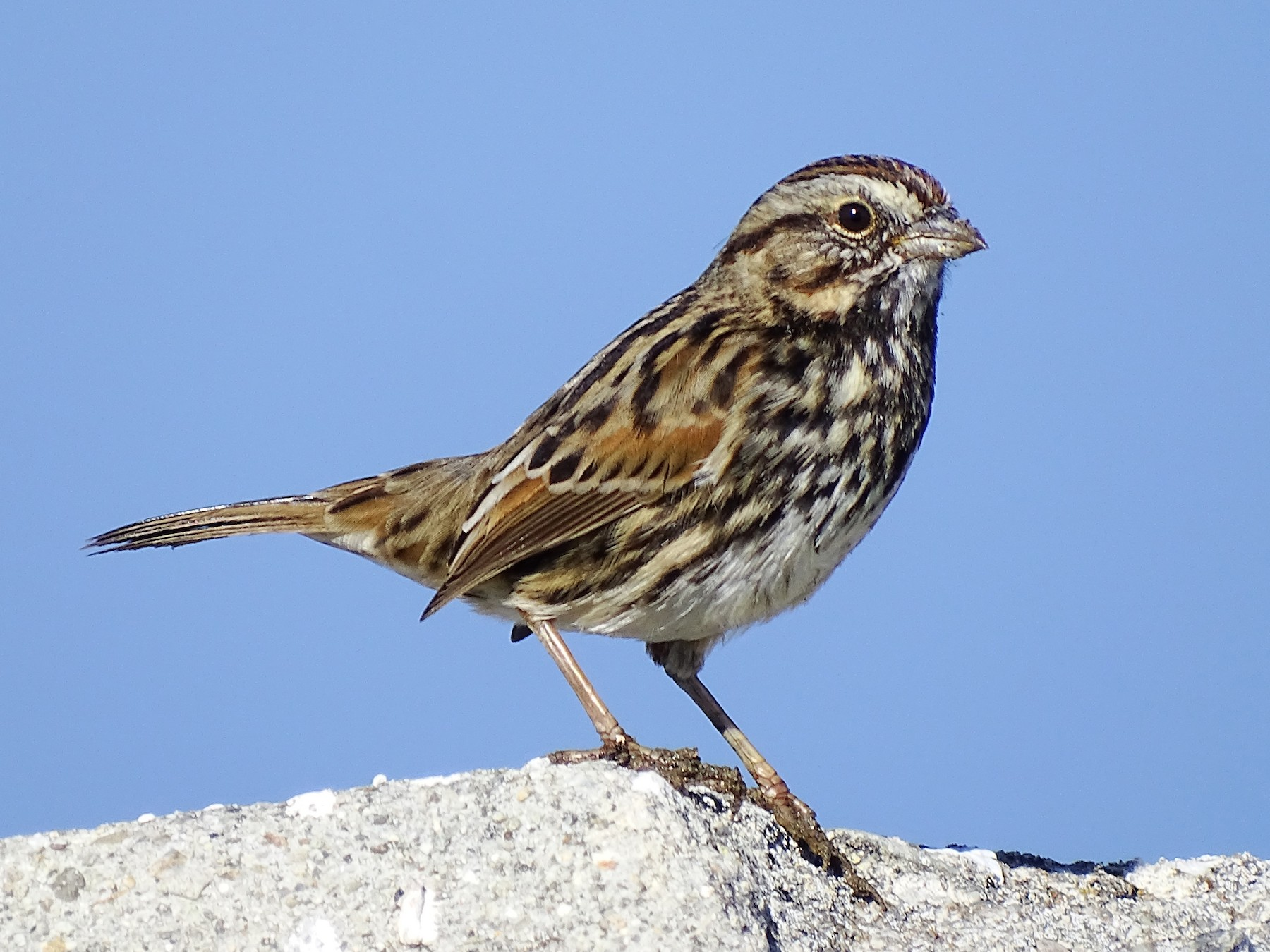 Song Sparrow - Anonymous eBirder