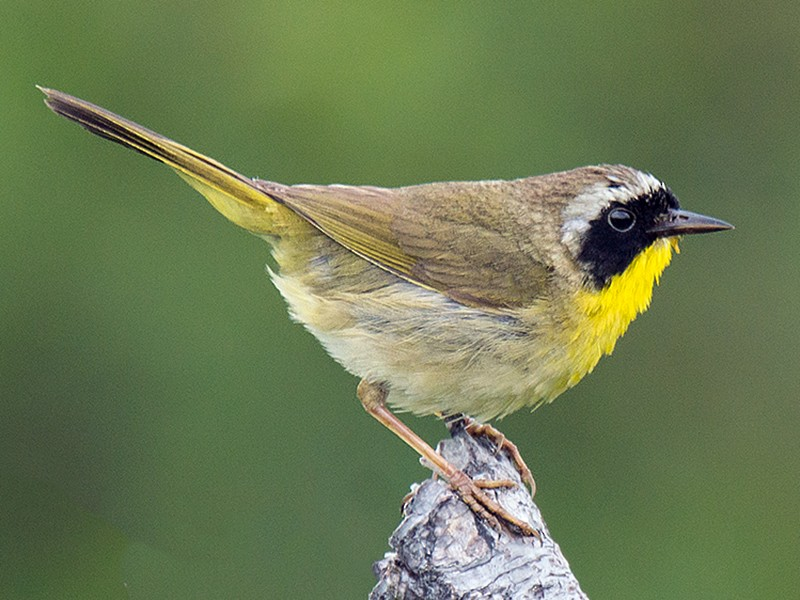 Common Yellowthroat - David Turgeon
