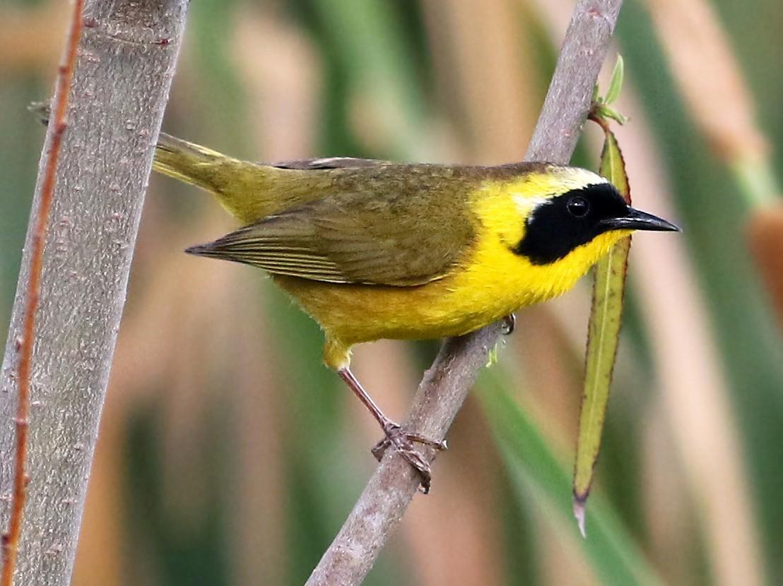 Common Yellowthroat - Andrew Spencer