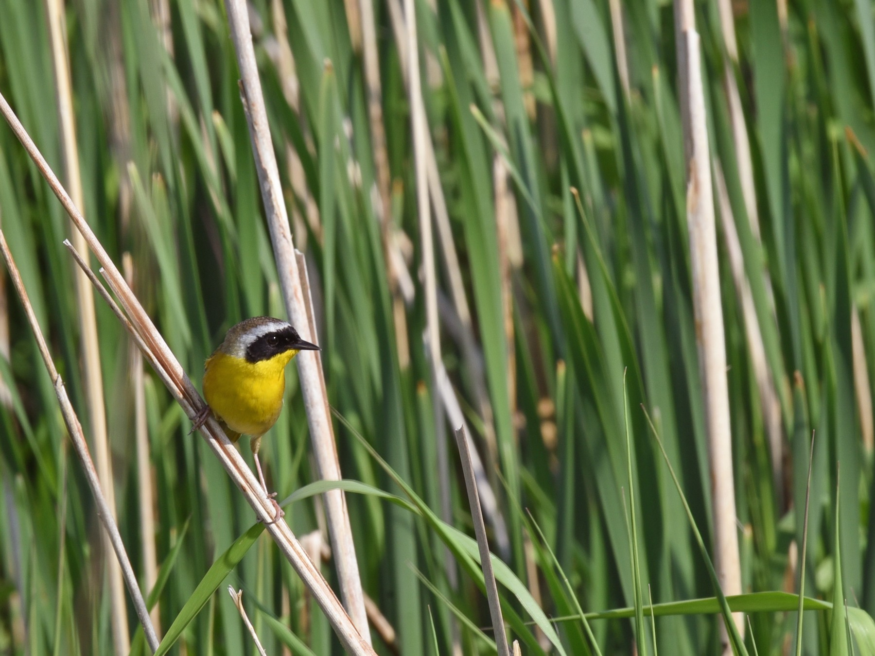 Common Yellowthroat - Zoe Finney
