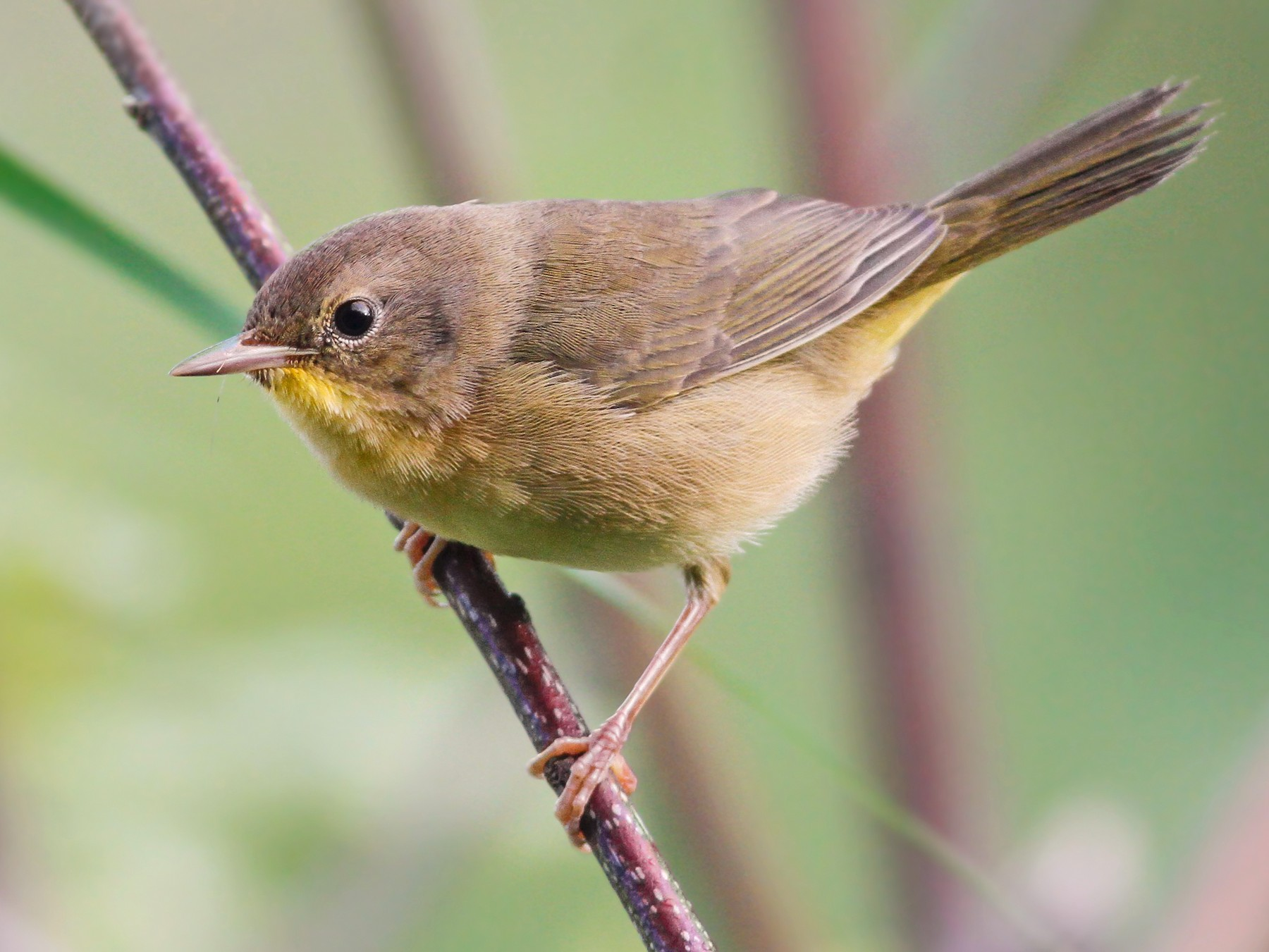Common Yellowthroat - Davey Walters