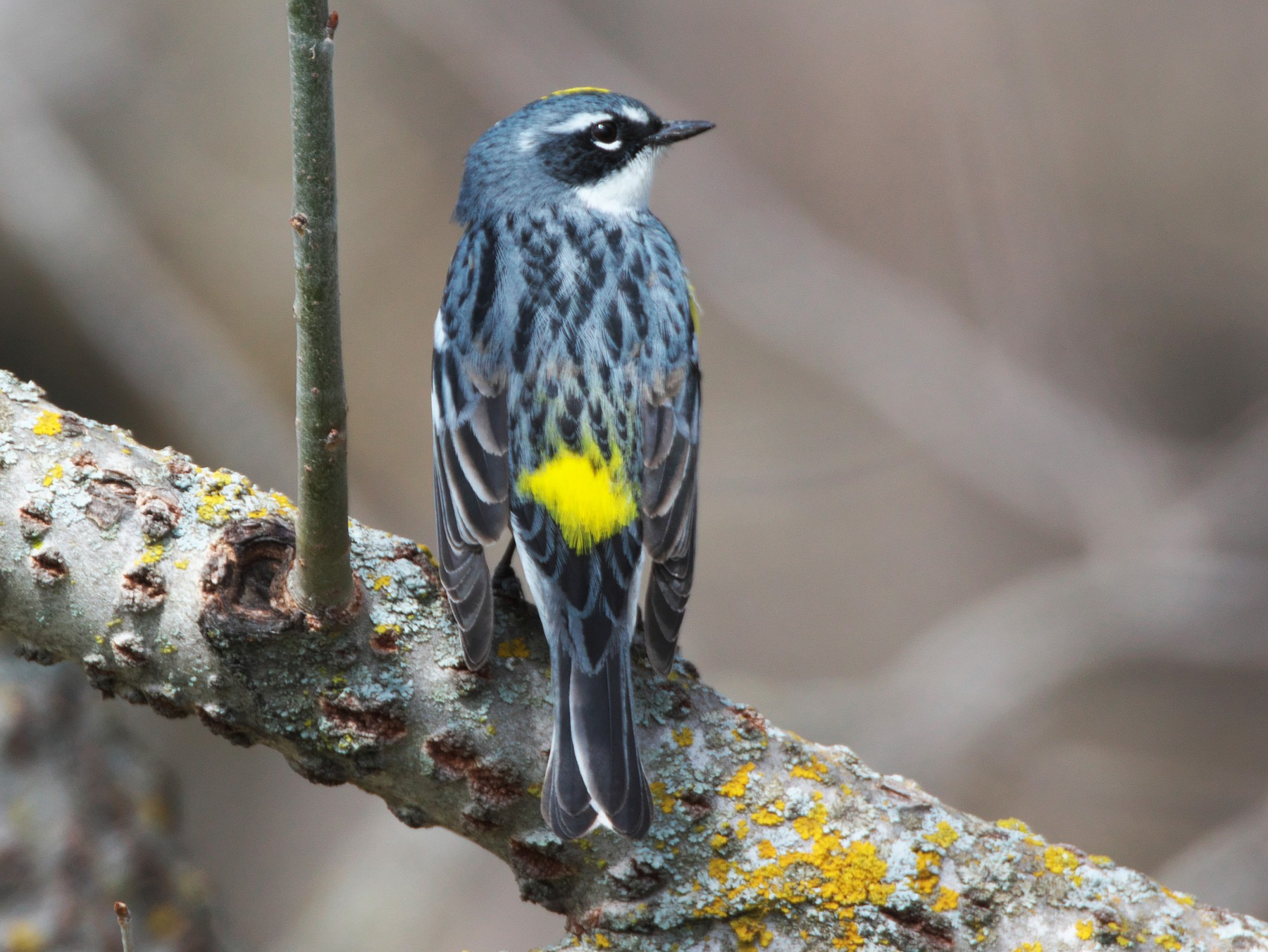 Yellow-rumped Warbler - Paul Tavares