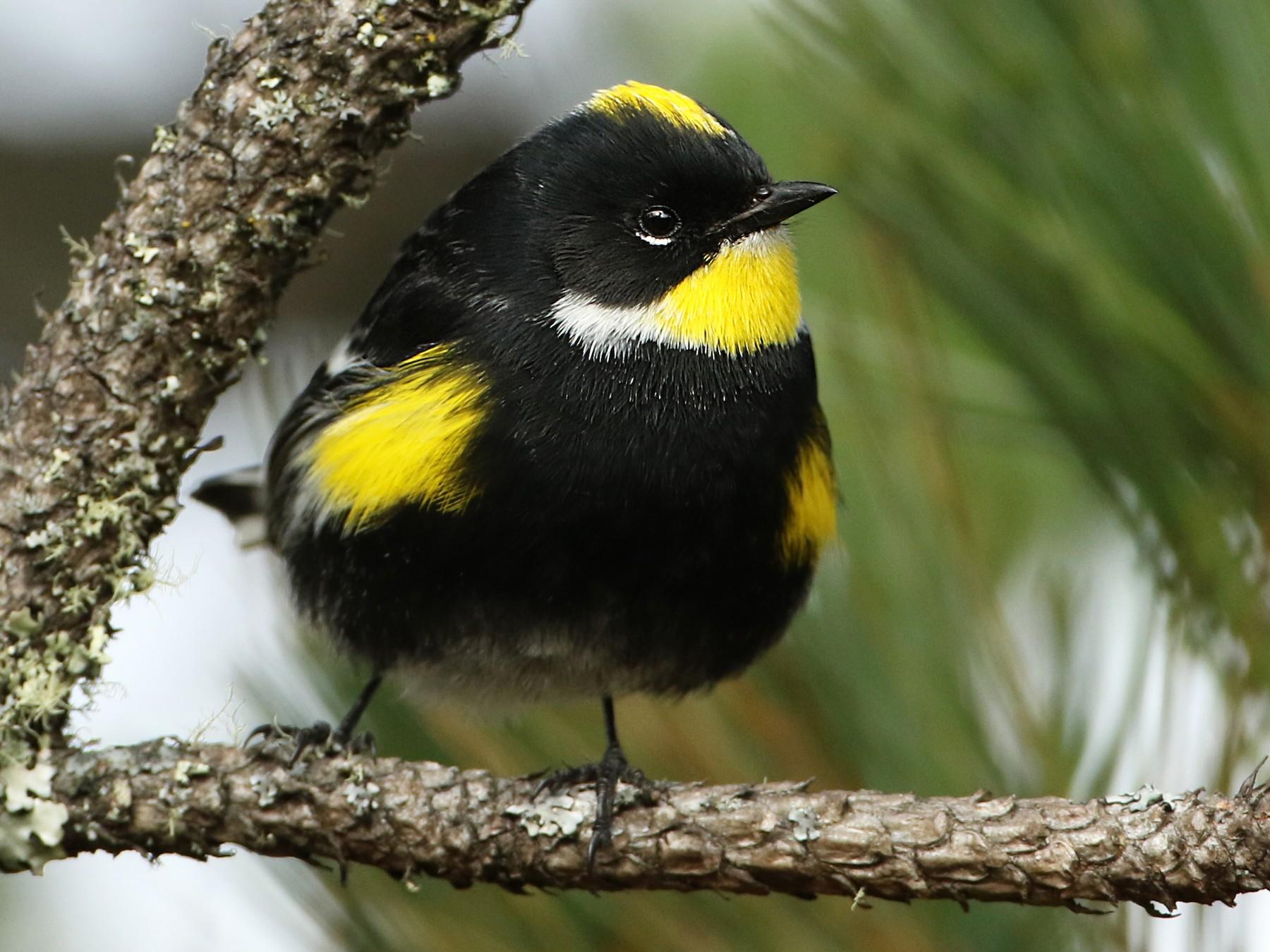 Yellow-rumped Warbler - Luke Seitz