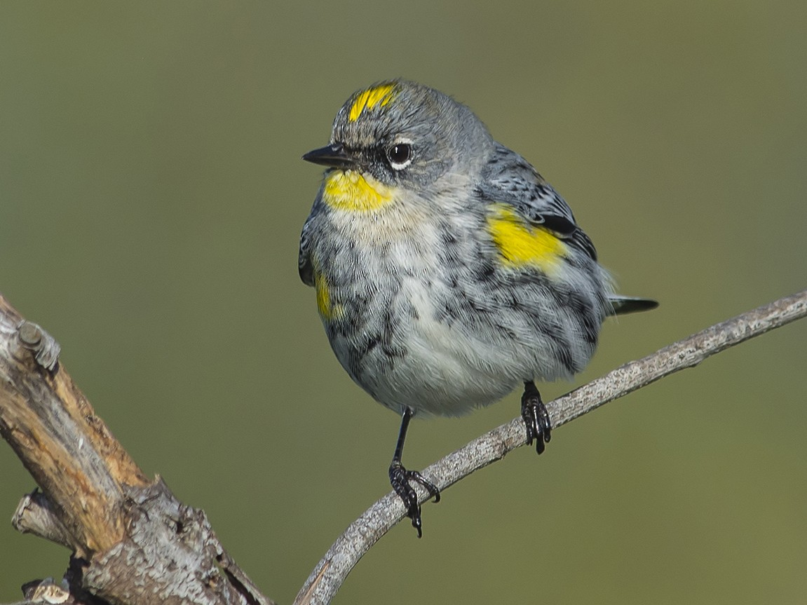 Yellow-rumped Warbler - Jerry Ting
