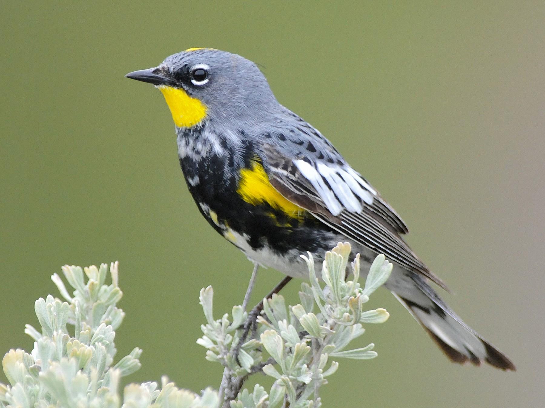 Yellow-rumped Warbler - Emily Turteltaub Nelson