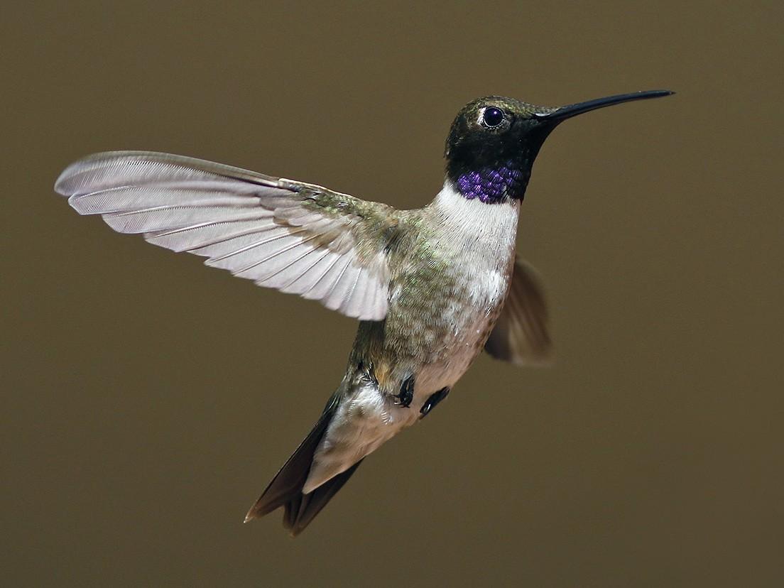 Black-chinned Hummingbird - Bill Maynard