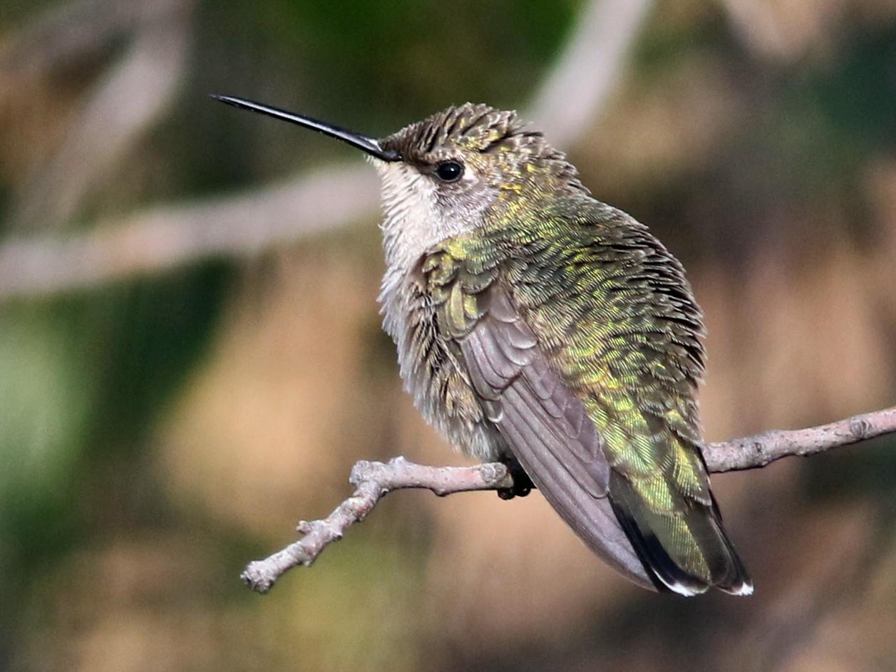 Black-chinned Hummingbird - Jay McGowan