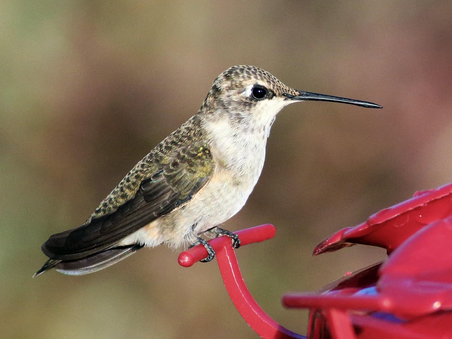 Black-chinned Hummingbird - Paul Fenwick