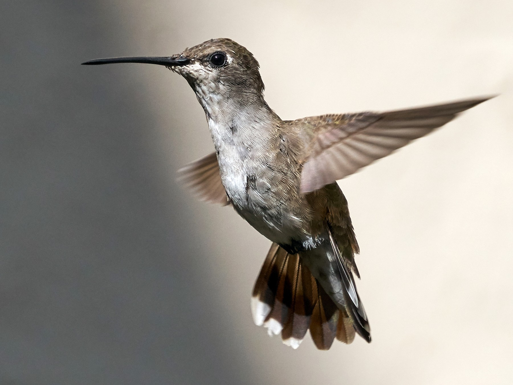 Black-chinned Hummingbird - Brooke Miller