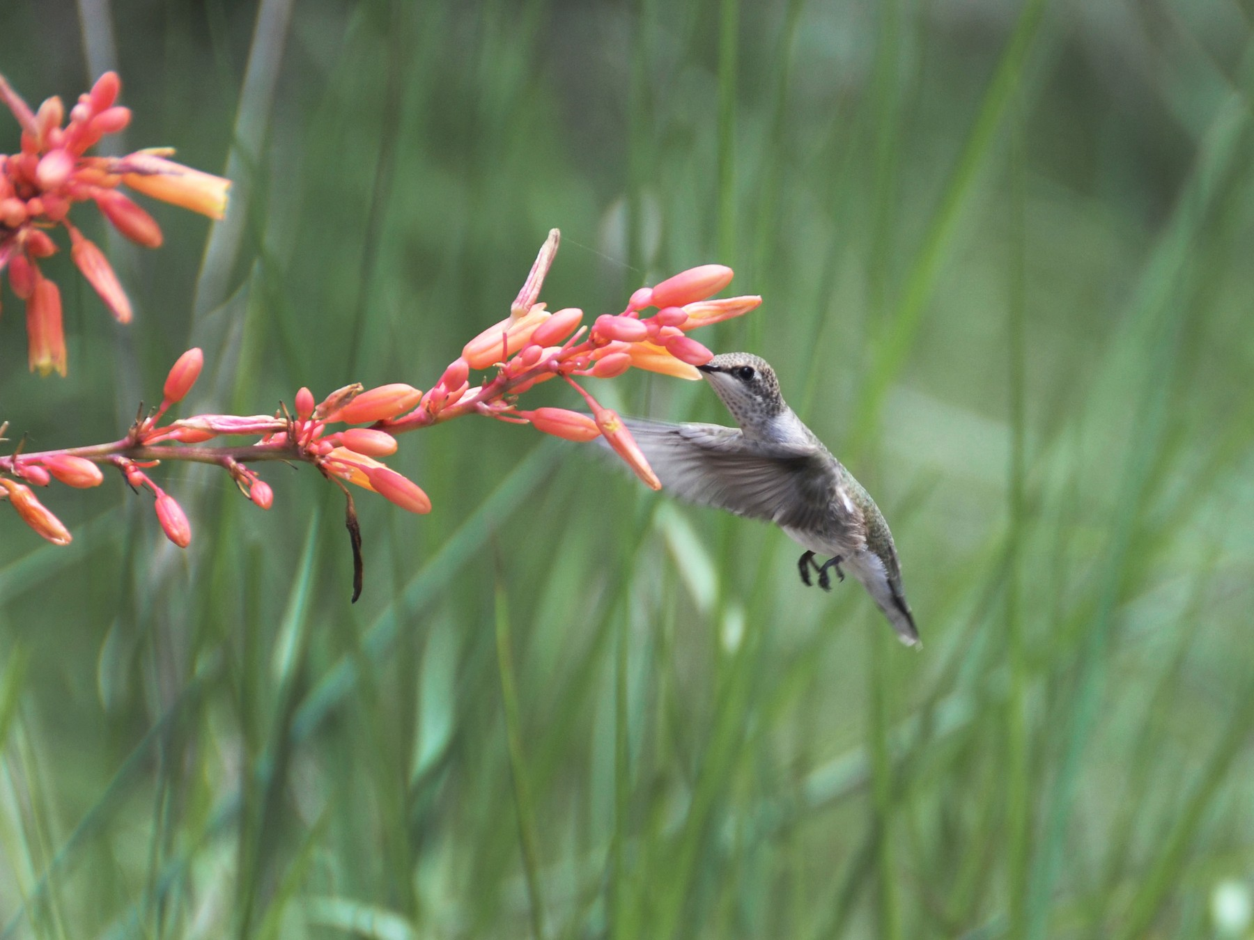 Black-chinned Hummingbird - Laura Dow