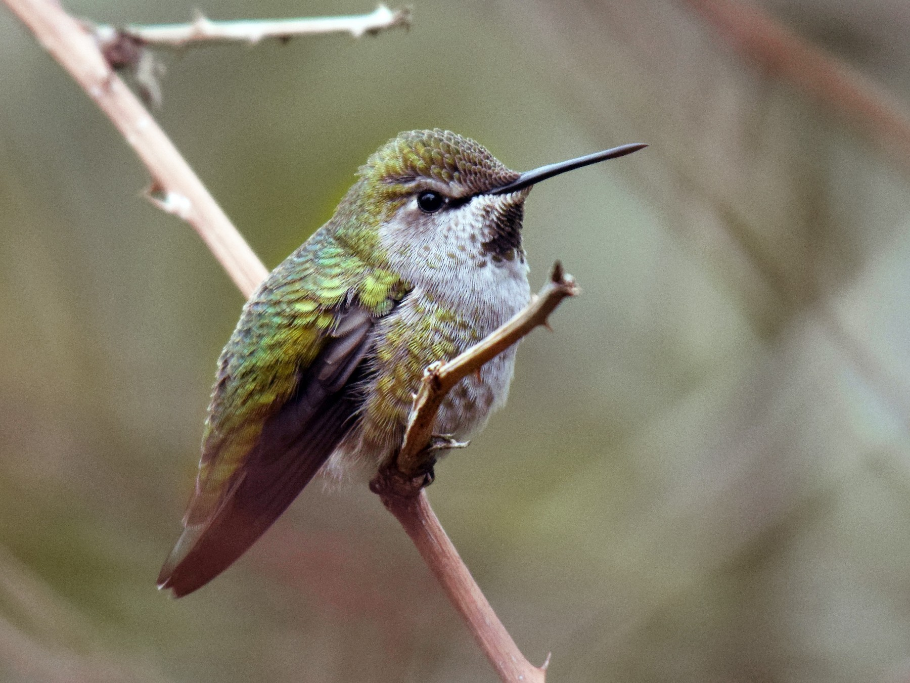 Anna's Hummingbird - Ryan O'Donnell