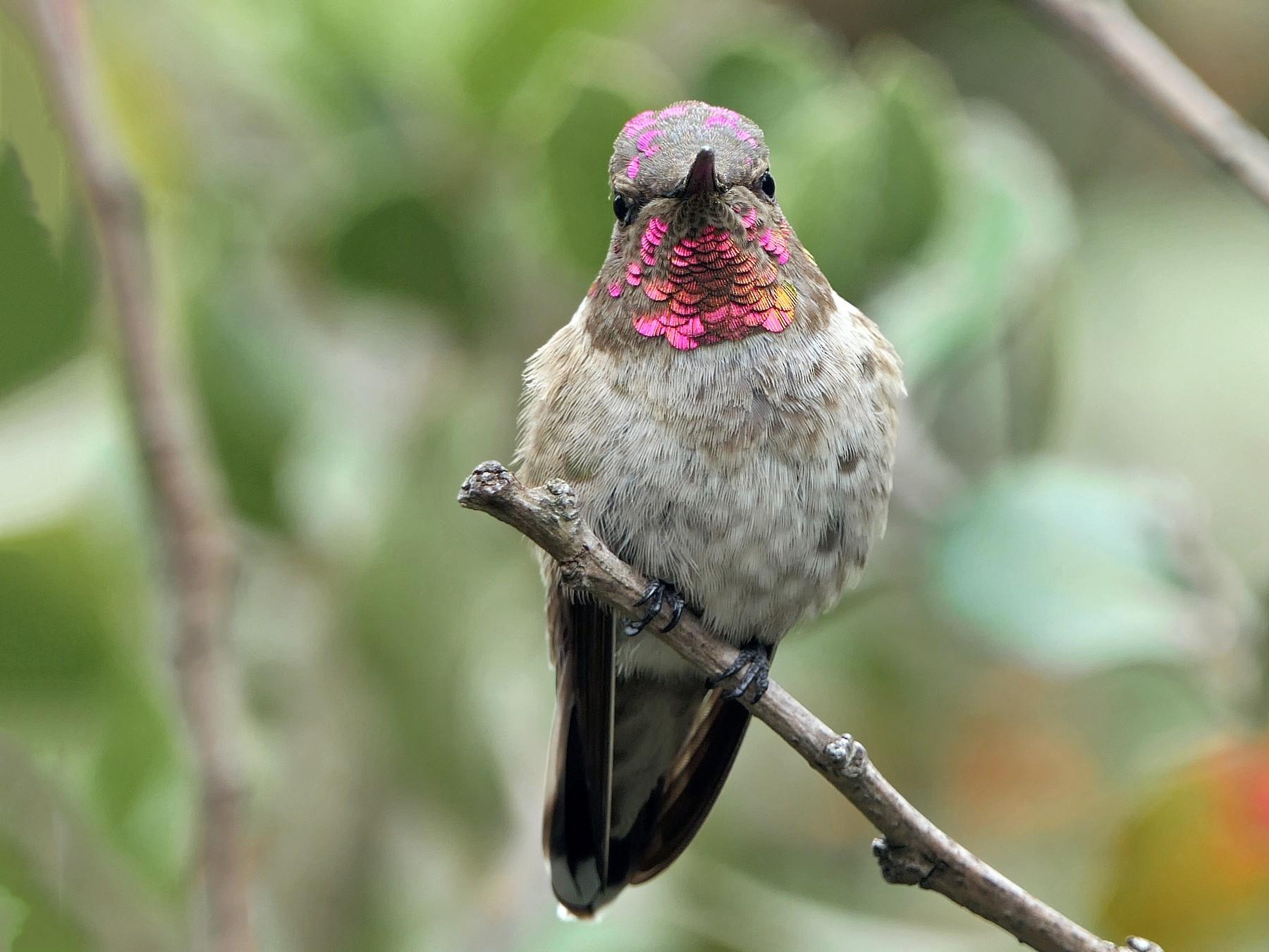 Anna's Hummingbird - Robert Hamilton