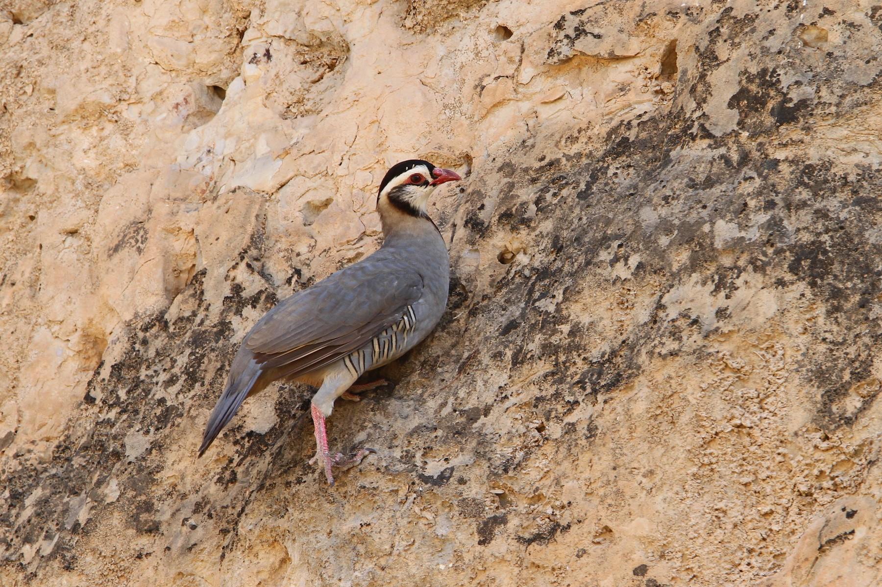Arabian Partridge - Christoph Moning