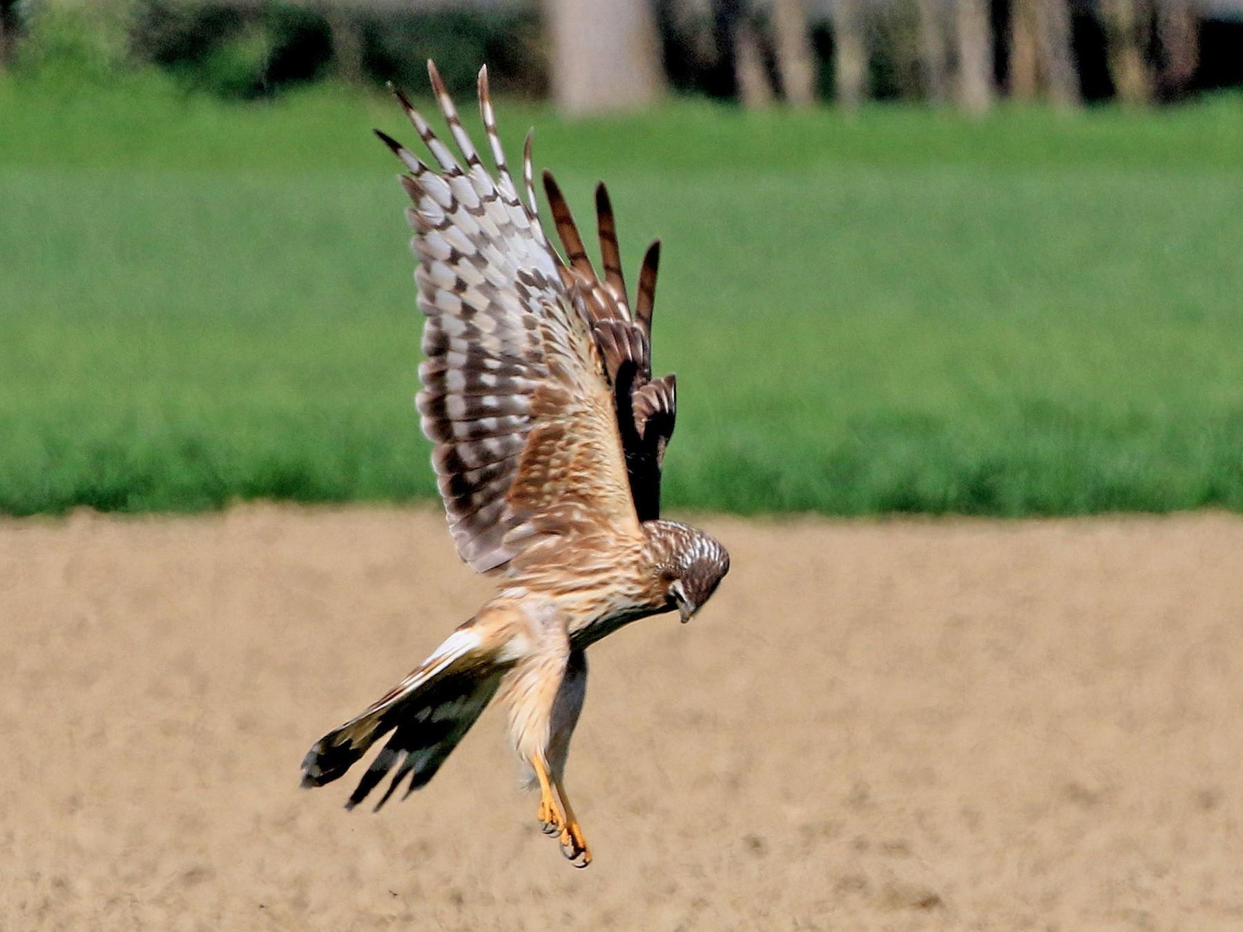 Hen Harrier - Patrick MONNEY