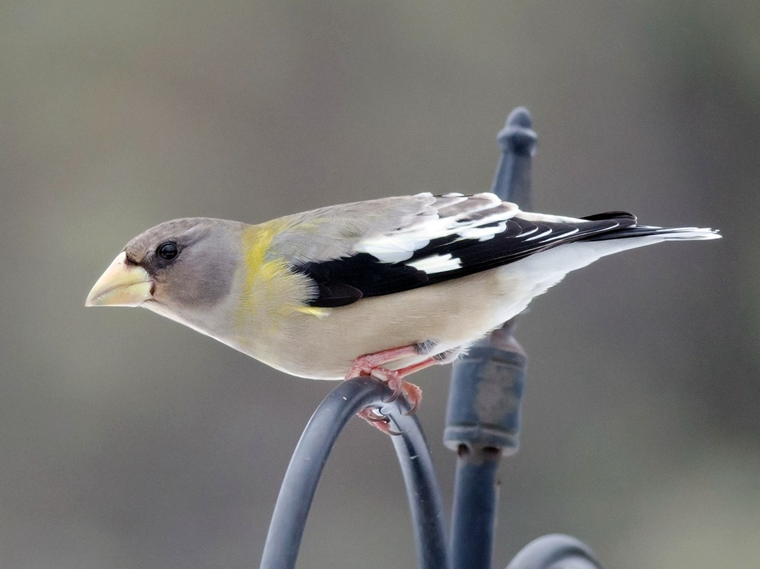 Evening Grosbeak - Alix d'Entremont